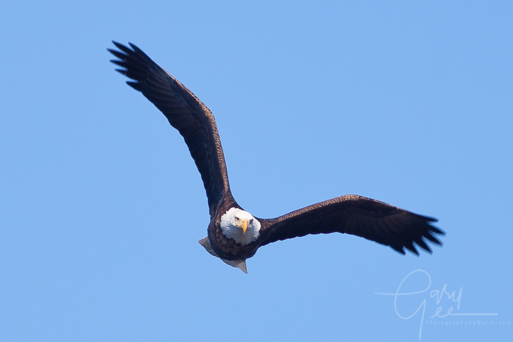 Bald Eagle straight on gaining height