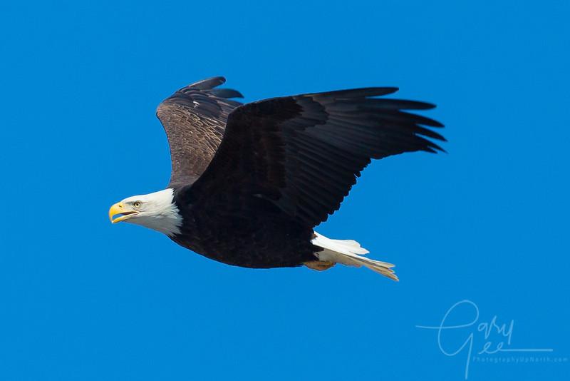 Bald_Eagle-29
