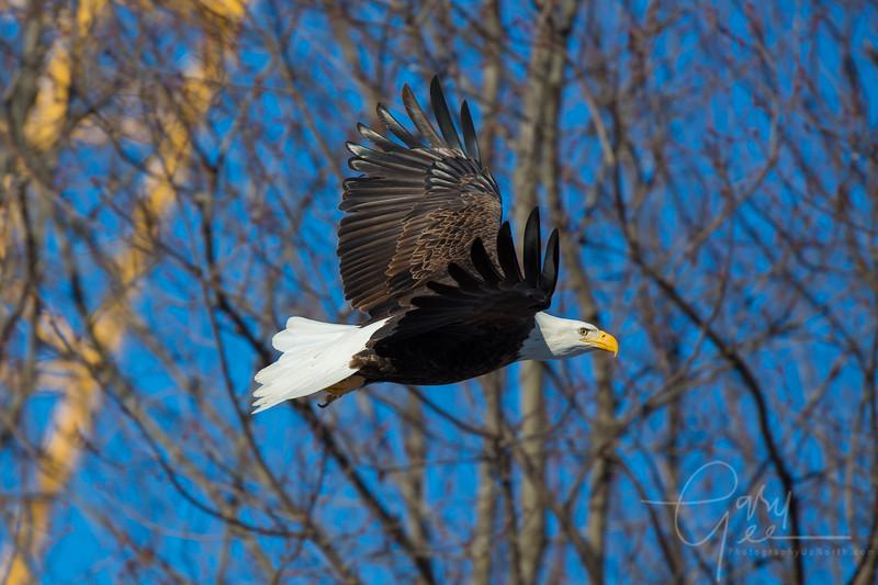 Eagle_2014-4