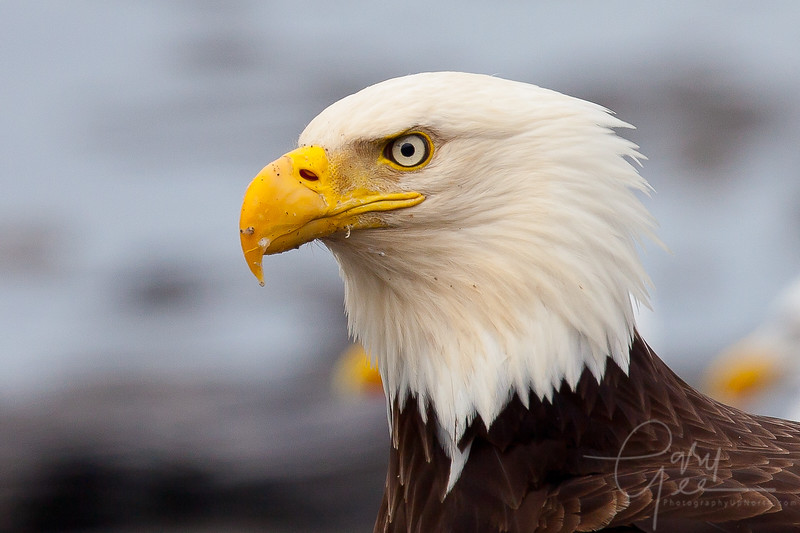 Great Bald Eagle Close up