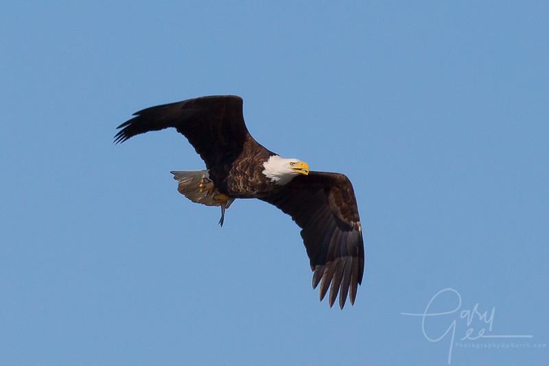 Bald_Eagle-15