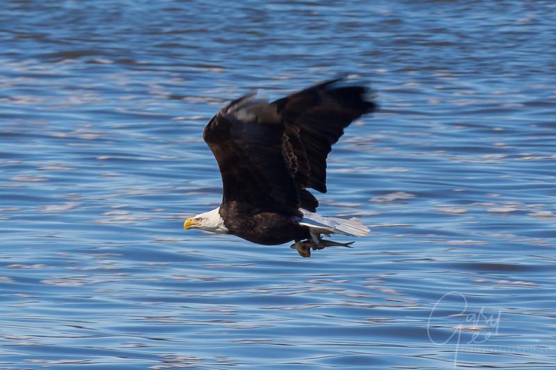Bald_Eagle-16