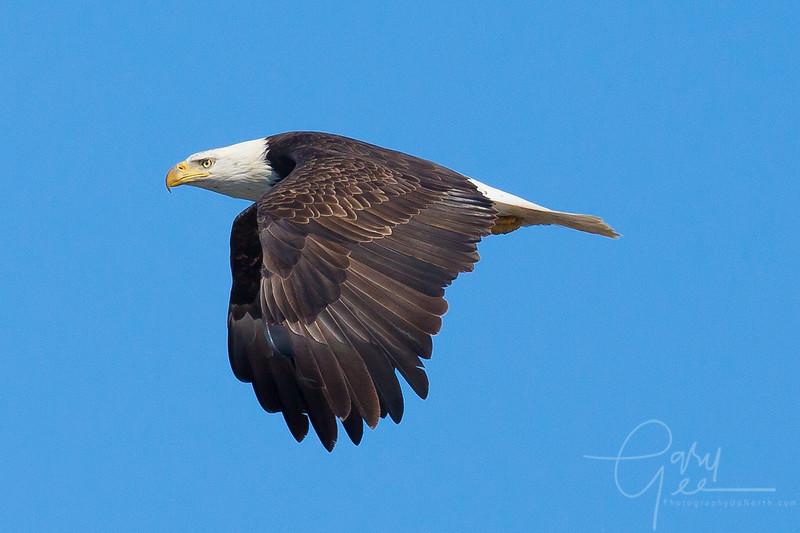 Bald_Eagle-20