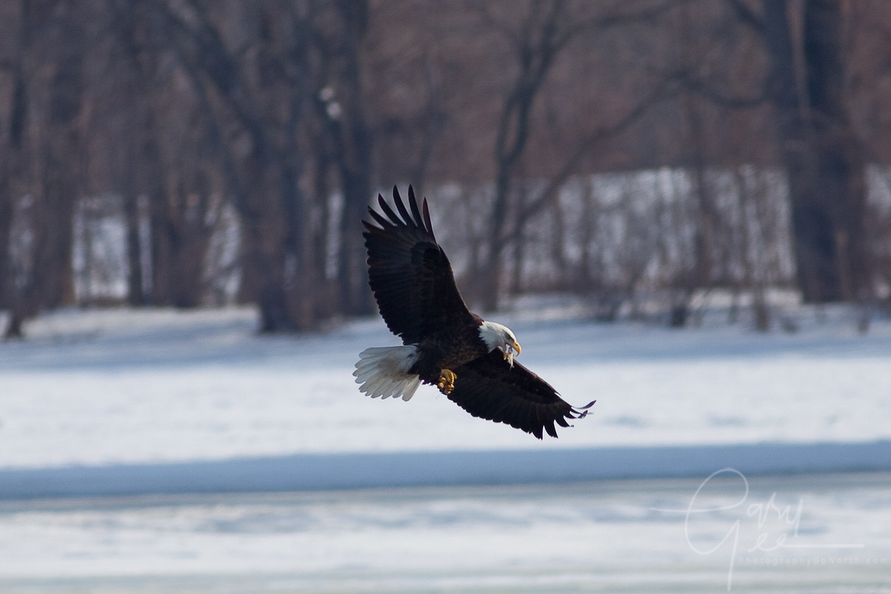 Bald Eagle - in flight lunch. Some eagles are very crafty at flipping a fish up from their talons in mid-flight
