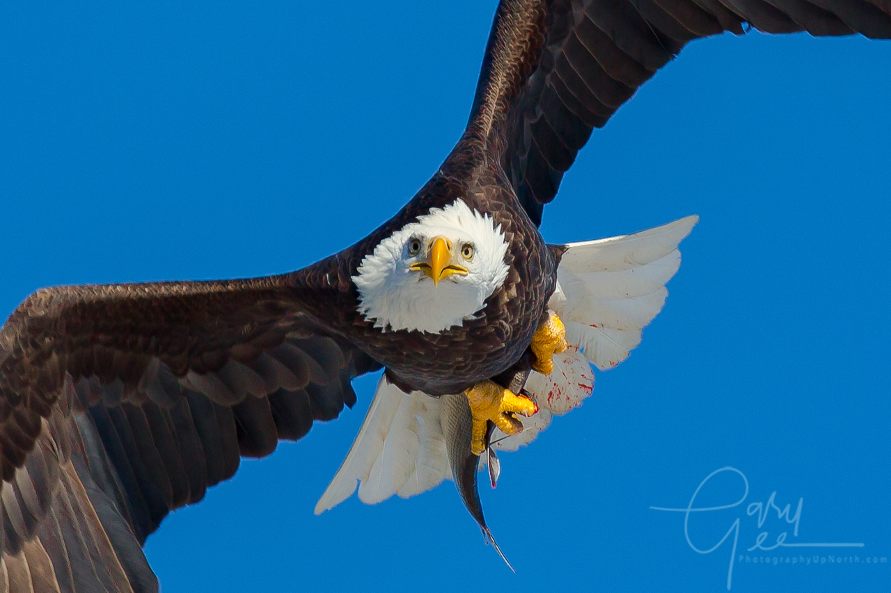 Bald Eagle Fish Capture