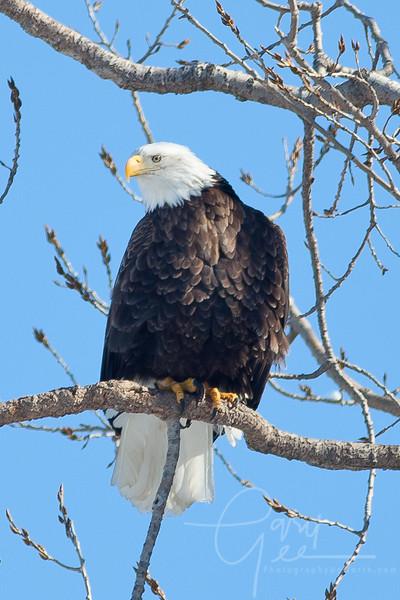 1Bald Eagle 37