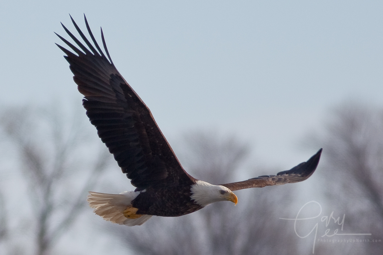 Bald Eagle with large wingspan