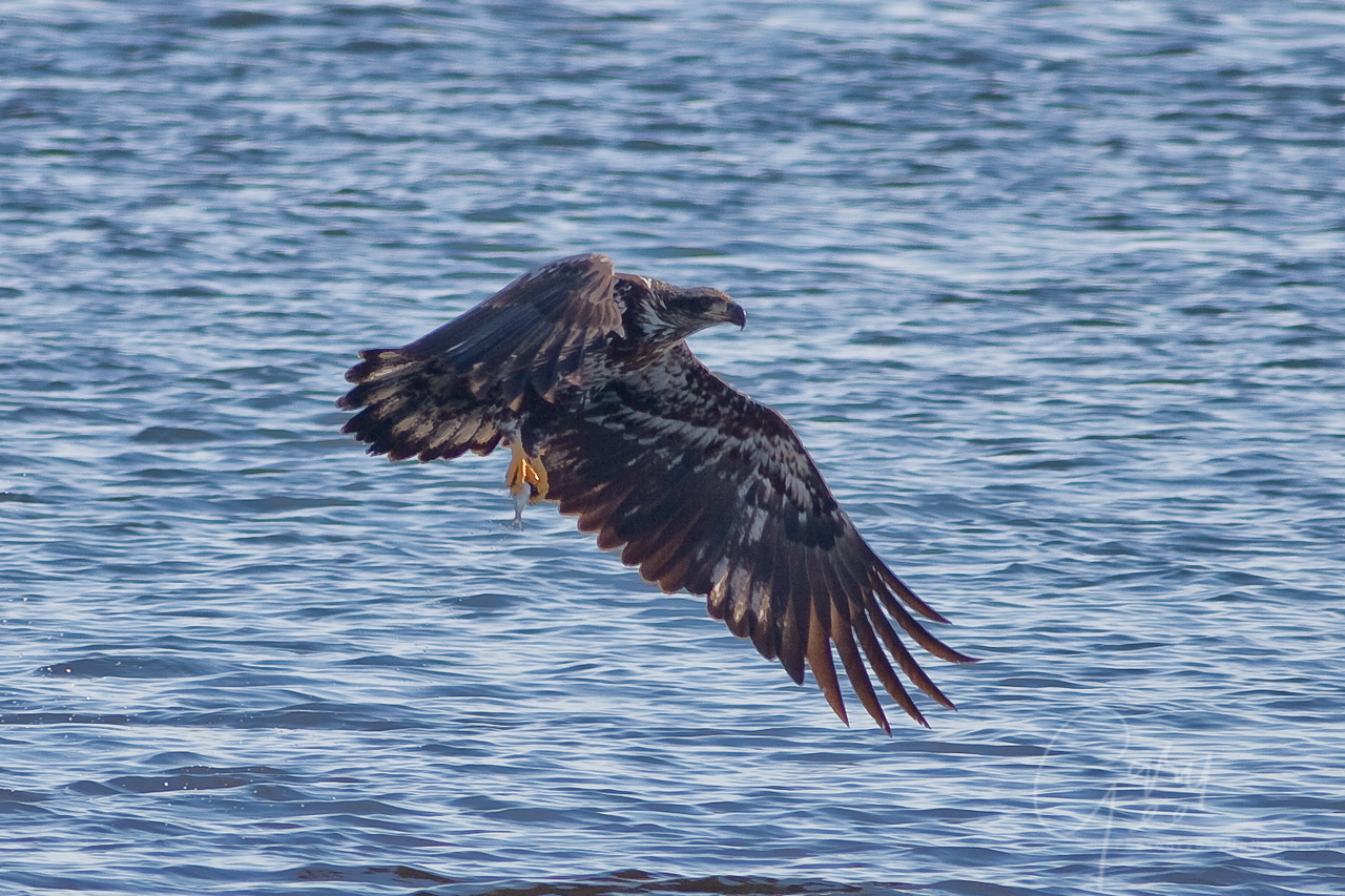Immature Bald Eagle with fish
