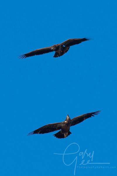 Bald_Eagle-36