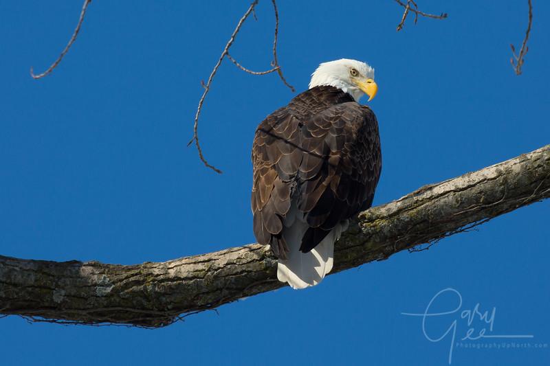 Bald_Eagle-45
