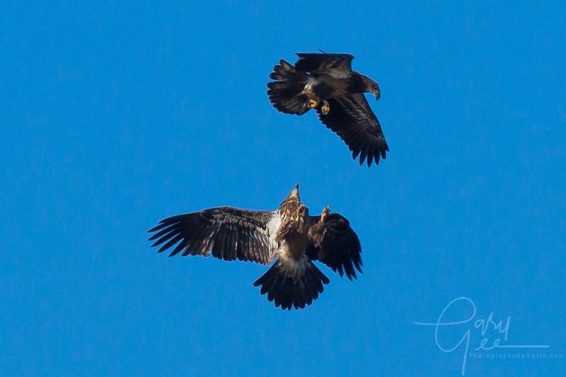 Bald_Eagle-37