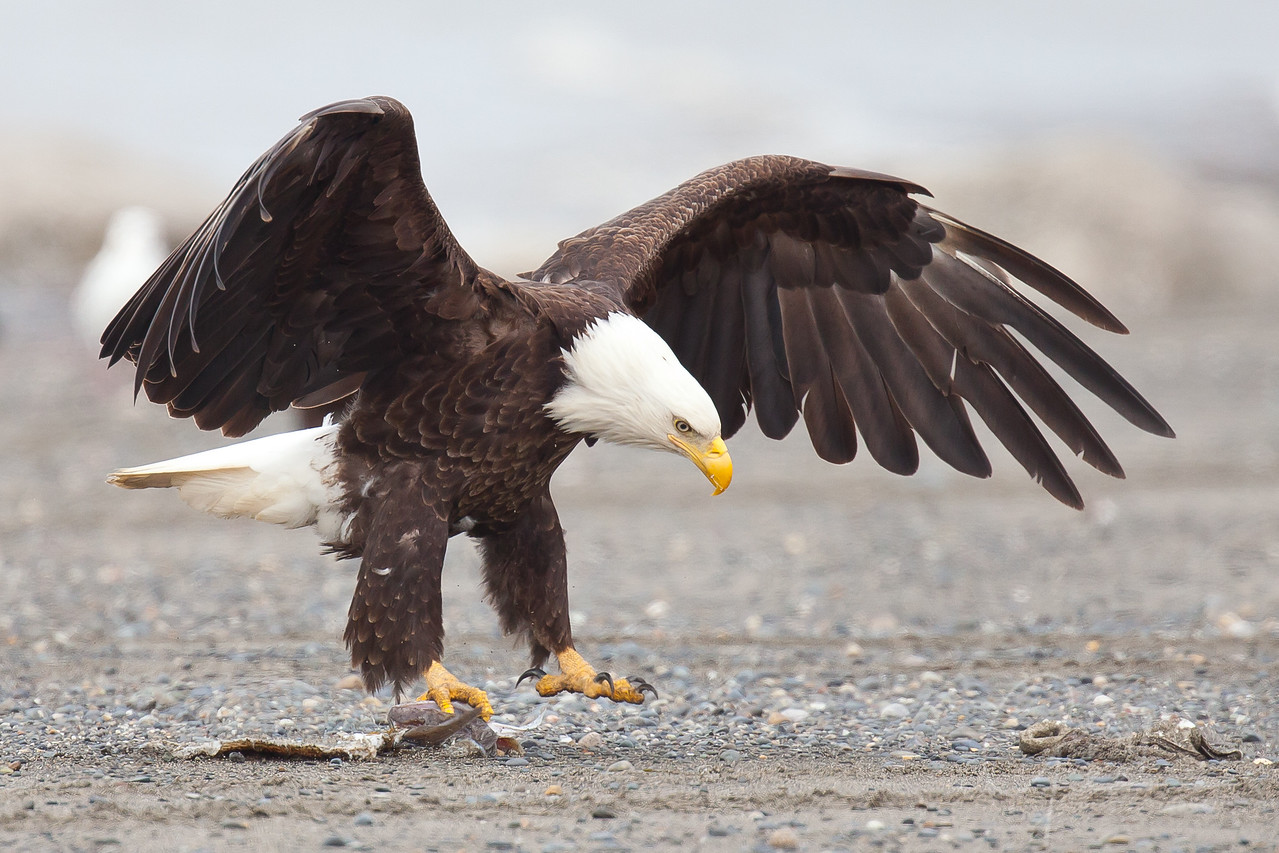 Bald Eagle lands on rocky beach with fish scrap