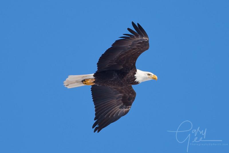 1Bald Eagle 36