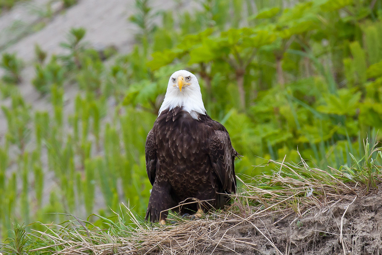 Bald Eagle sets high up on bluff