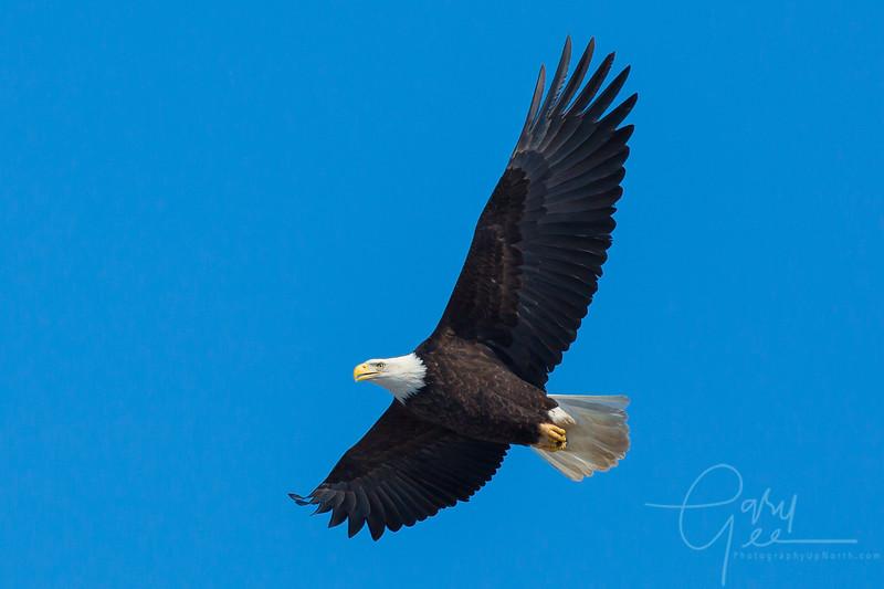 Bald_Eagle-30