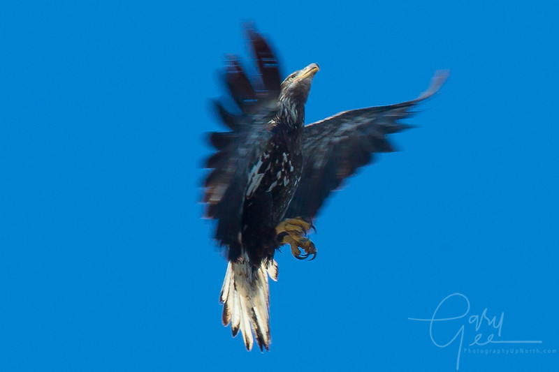 Bald_Eagle-41