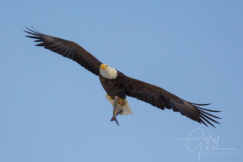 Eagle_2014-57