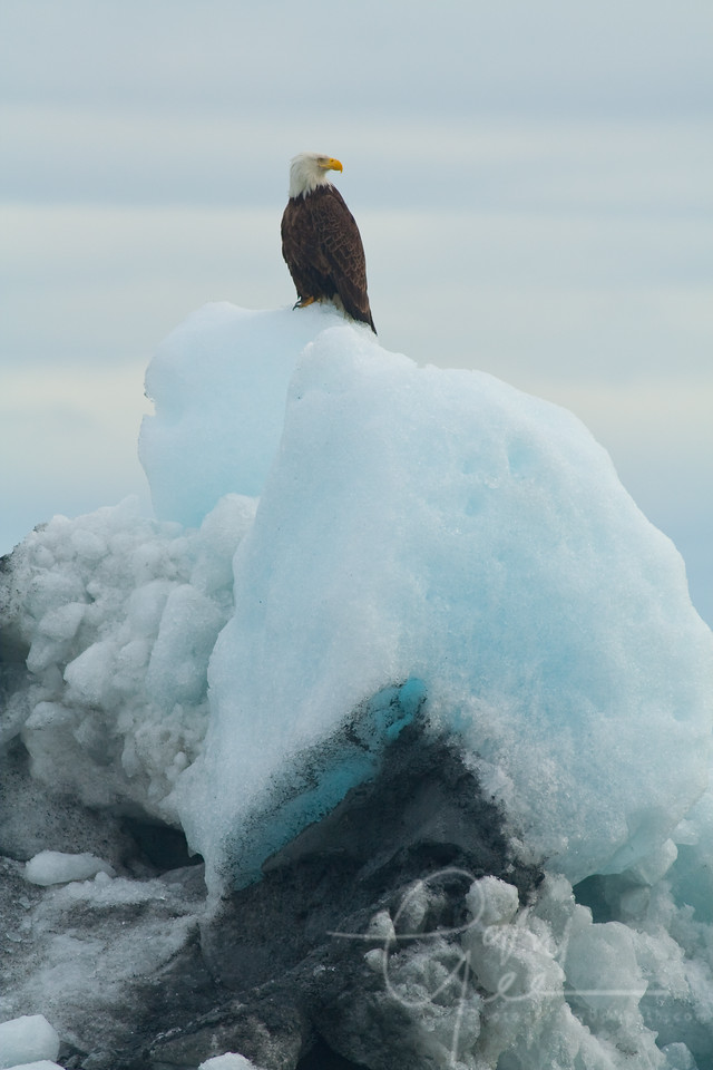 Bald Eagle on Iceberg in Valdez