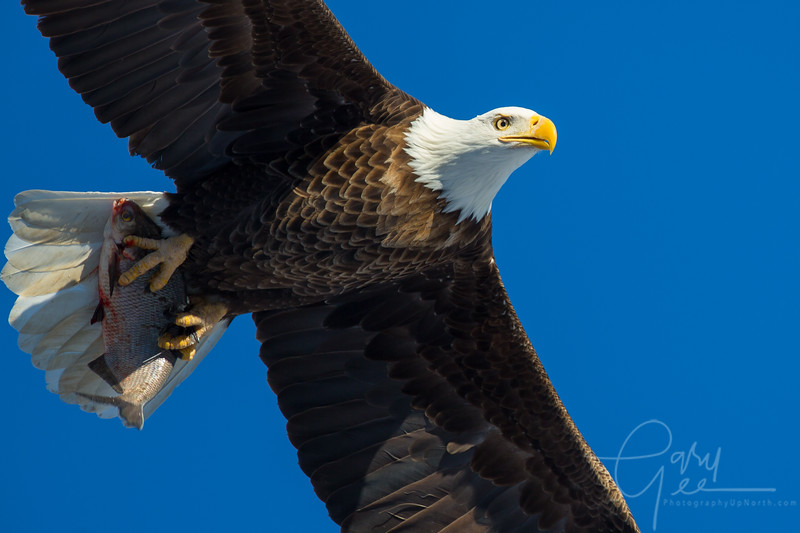 Eagle_2014-3