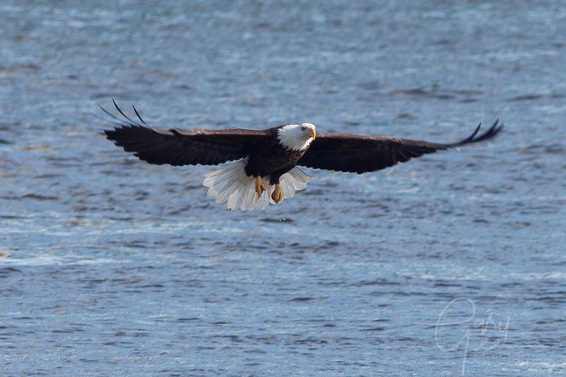 1Bald Eagle 52