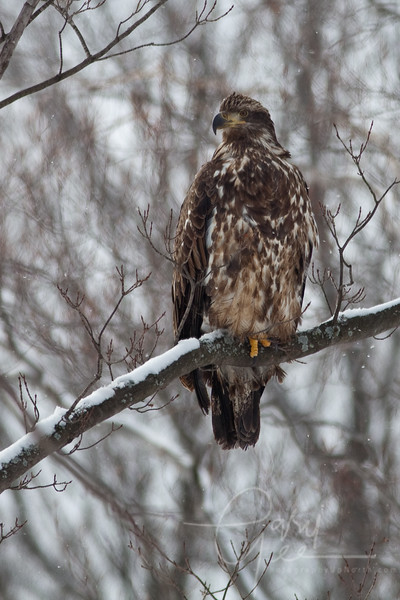 Immature Bald Eagle captured in the Pigeon River Forest, Michigan