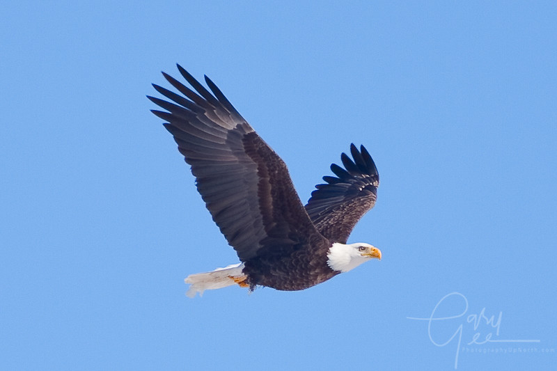 Bald Eagle - nice look!