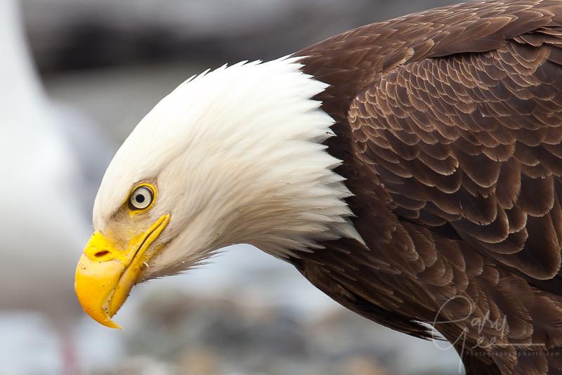 Eagle_Alaska19-