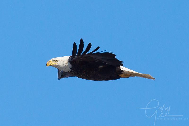 Bald_Eagle-21