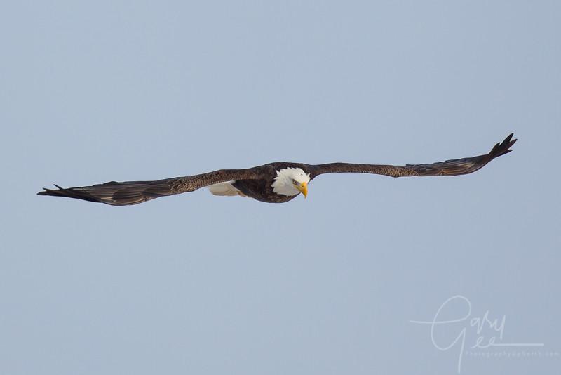 Eagle_2014-59