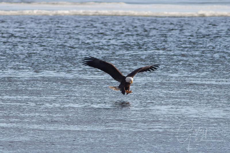 1Bald Eagle 40