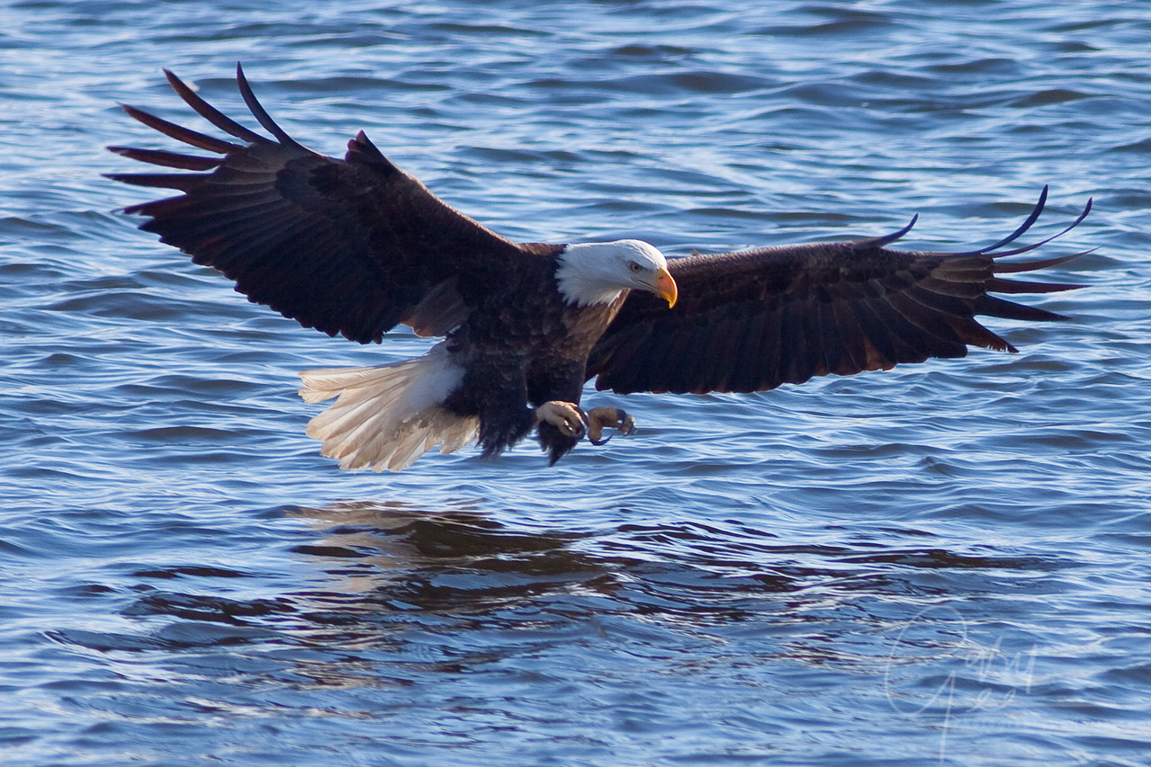 Bald Eagle just prior to the snatch!