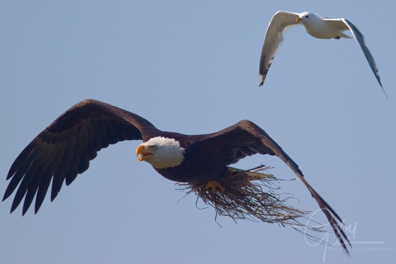 Bald Eagle being chased!