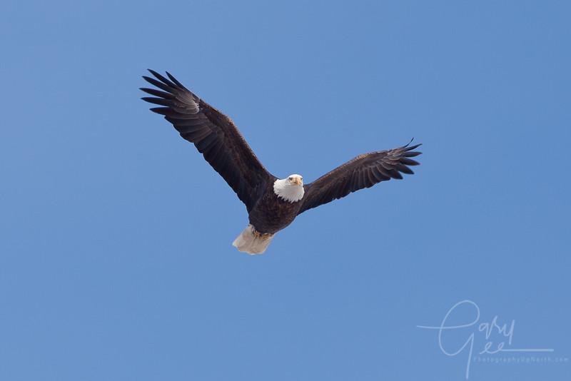 1Bald Eagle 55