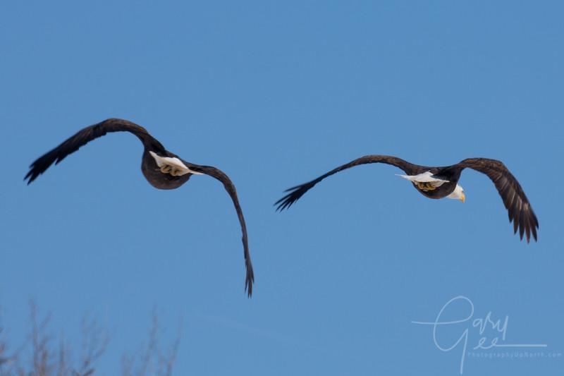 Bald_Eagle-43