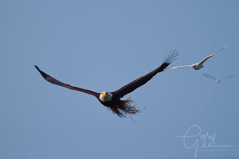 Bald Eagle carrying nesting material that the seagulls claim is theirs!