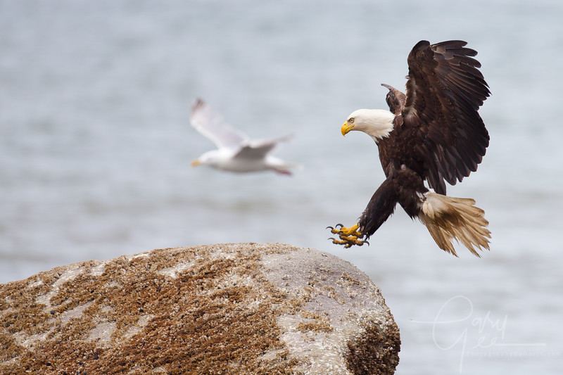 Bald Eagle with landing gear down in Ninilchik, Alaska