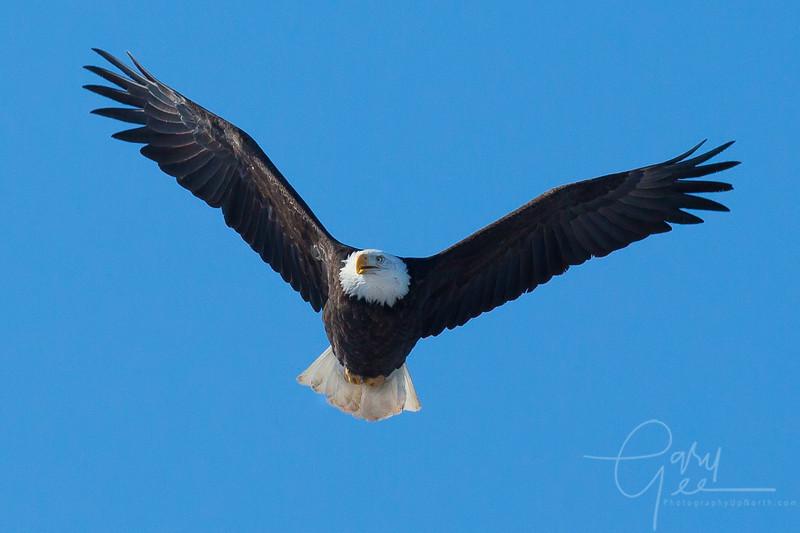 Bald_Eagle-28