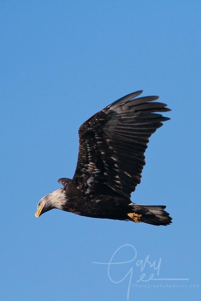 Bald Eagle off of my back deck in Lewiston, MI