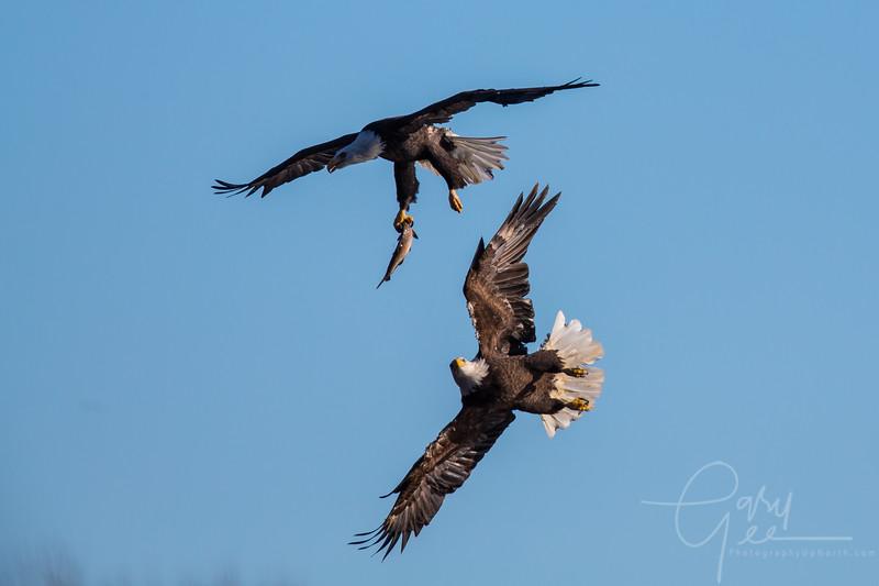 Eagle_2014-17