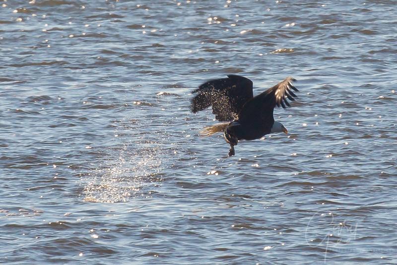 Bald_Eagle-7