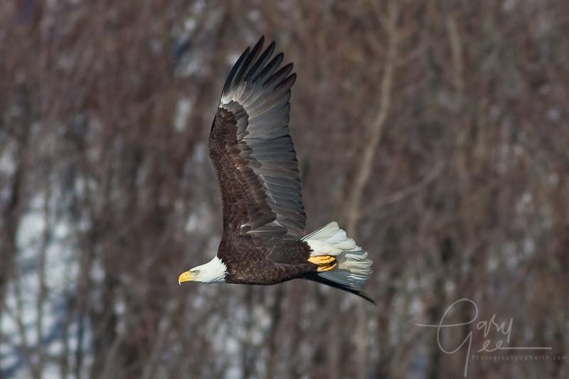 Bald Eagle Grand Haven Michigan