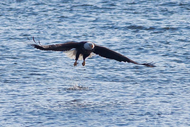 1Bald Eagle 44