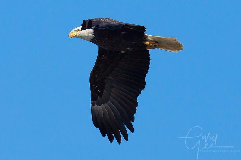 Bald_Eagle-19