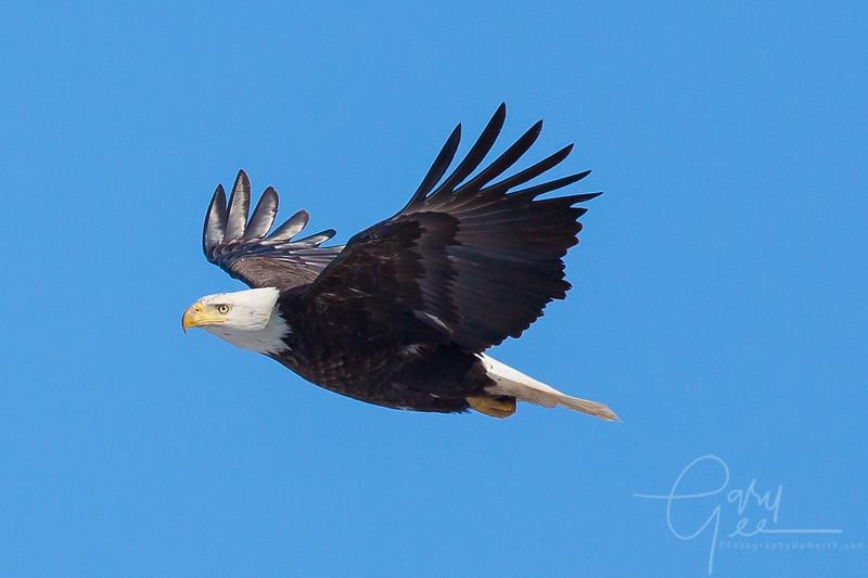 Bald_Eagle-23