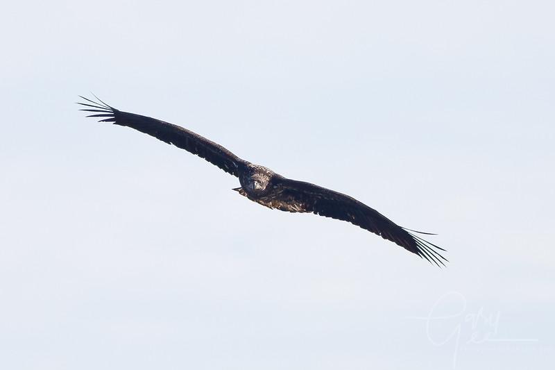 1Bald Eagle 48