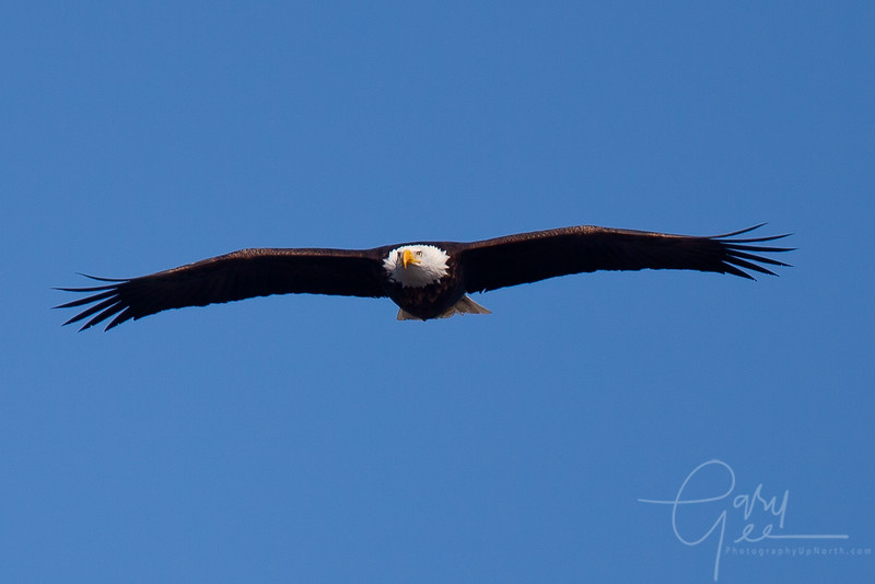 Bald Eagle Photo