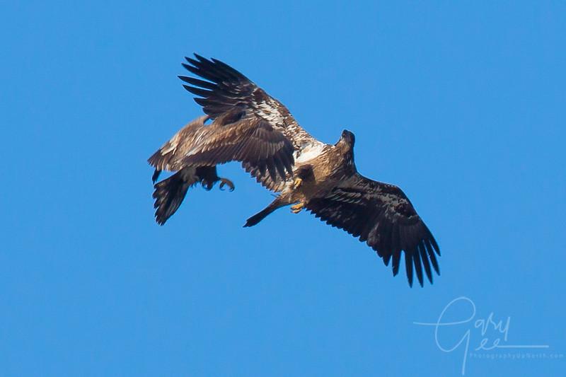 Bald_Eagle-35