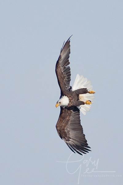 Bald Eagle - tight turn!