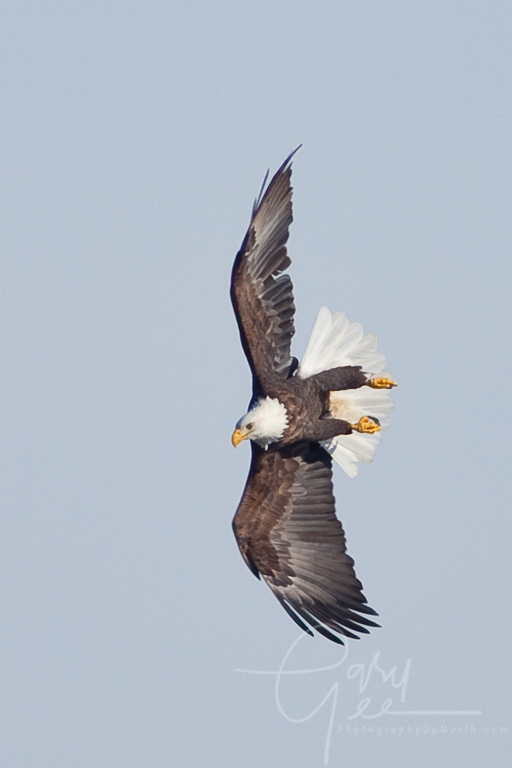 Bald Eagle - tight turn!