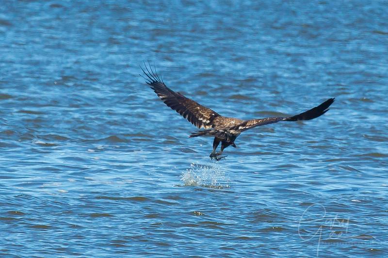 Bald_Eagle-32
